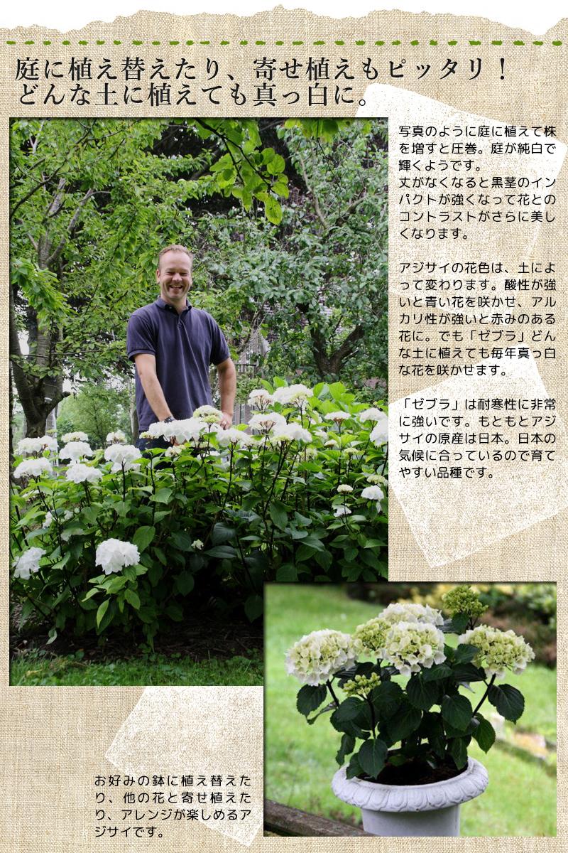 庭植え、寄せ植えにも最適